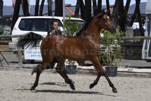 """Concours international de chevaux ARABES - """"Arabian Masters"""" Bordeaux 2017 - 6"""
