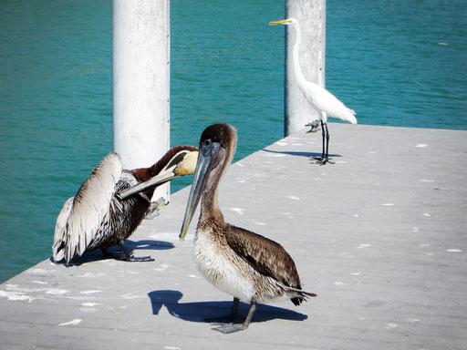 Pelikane und Kraniche besuchen