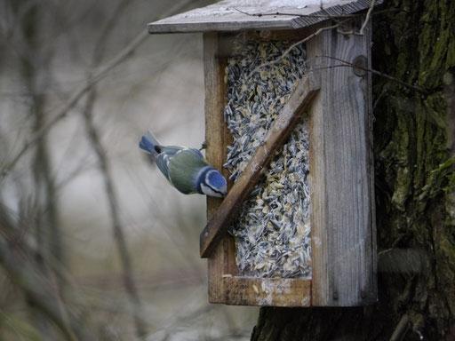 Blaumeise (Foto: N. Chalwatzis)