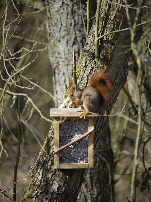 Eichhörnchen (Foto: N. Chalwatzis)