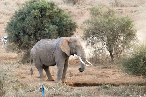Elefant, Böhm-Steppenzebra (Grant-Zebra)