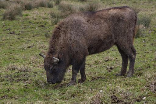 Wisent oder Europäische Bison (Bos bonasus), Wildnispark Zürich Langenberg