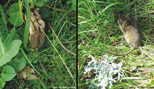 ... und Birkenmaus (Sicista betulina) finden häufig in den Mooren und den Moorrandbereichen wichtige Lebensräume.