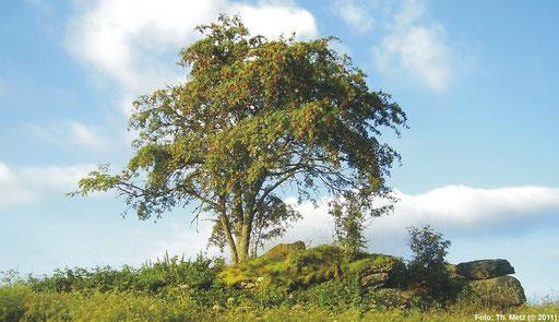 Felsformation mit Eberesche (Sorbus aucuparia) bei Pohoří na Šumavě.