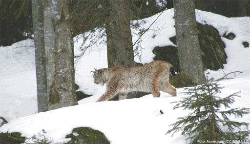 ... sind die Lebensräume von Luchs (Lynx lynx), ...