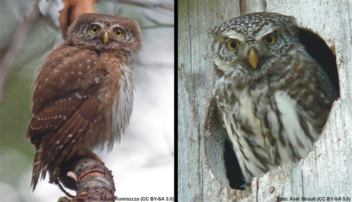 Sperlingskauz (Glaucidium passerinum), ...