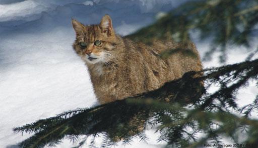 ... Wildkatze (Felis silvestris) etc.