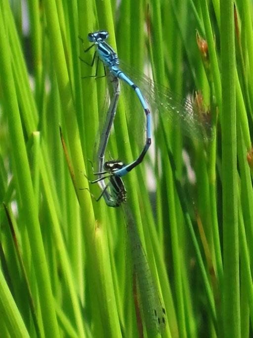 Libellenhochzeit