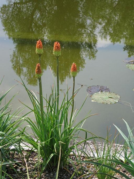Fackellilien