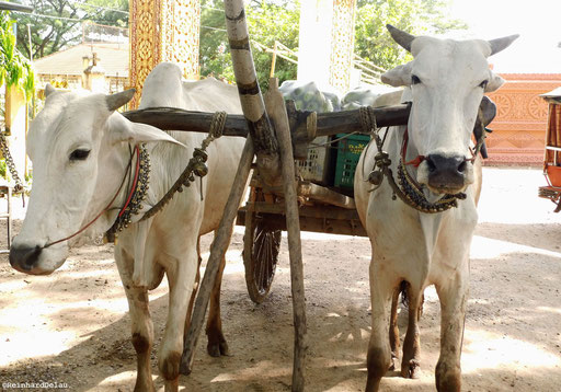 Wasserbüffel ergänzen die Transportlogistik - in Kambotscha