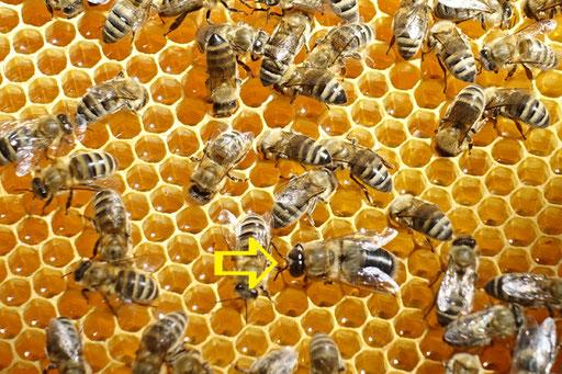 28. Mai: siehe Pfeil - ein Drohn (männliche Honigbiene), inmitten von Arbeiterinnen auf Waben voll gefüllt mit flüssigem Honig