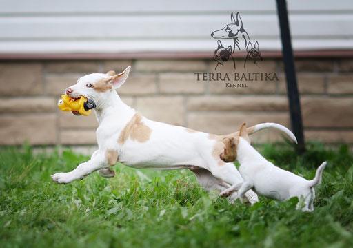той-фокстерьер, той-фокс, амертой, американский той-фокстерьер, той-фокстерьер питомник, той-фокстерьер щенки, терра балтика, terra baltika, toy fox terrier