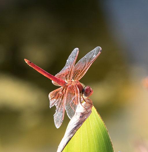 """Rote Libelle (""""gefleckter Sonnenzeiger"""")"""