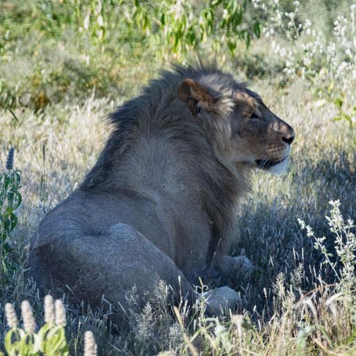 Der König der Tiere (Etoscha)