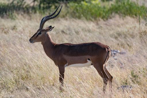 Impala (Etoscha)