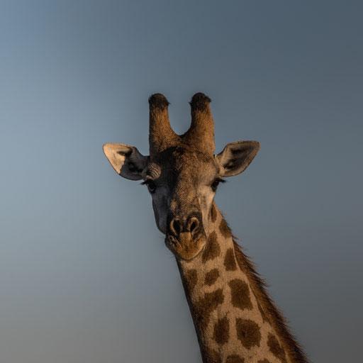 was guckst du ? #2 (Giraffe)