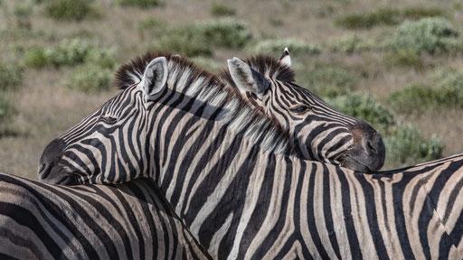 schmusende Zebras (Etoscha)