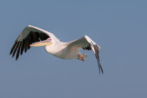 Pelikan Walvis Bay