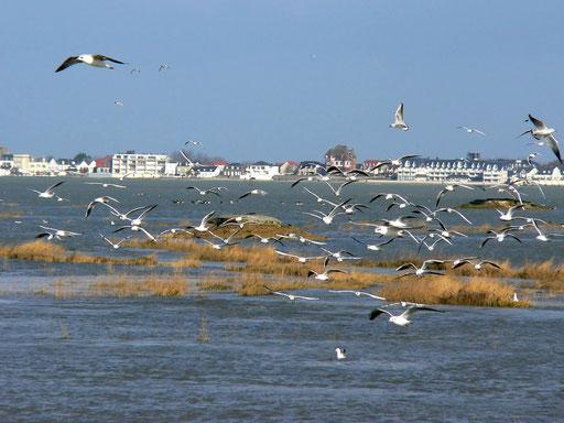 les oiseaux de la Baie de somme migrations