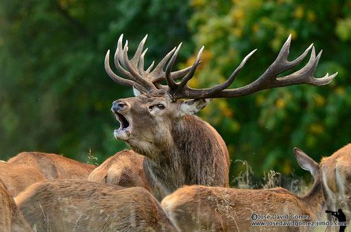 ciervo en berrea