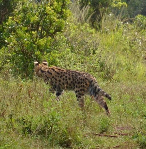 Serval nicht häufig anzutreffen.