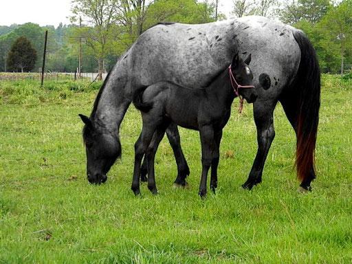 Pearl mit ihrem 2010 colt  MJM Saltys Blue Cid, 2 Wochen. (c) Roans R Us