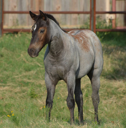 Gun Drops, filly by No Guns Please x Howleys Frosty Girl. Picture by Ashlyn Williams