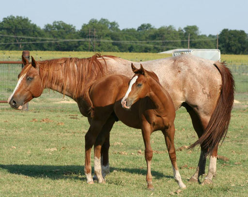 Frosty with her filly by Snips Olympic Gold. Picture by Ashlyn Williams