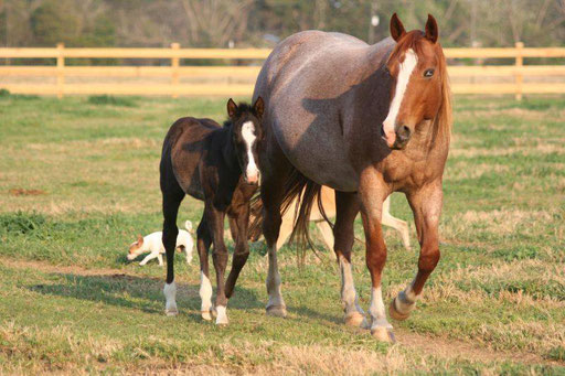 Figure Four Sequin, filly by Snips Olympic Gold  x Howleys Frosty Girl),  Pic by Ashlyn Williams