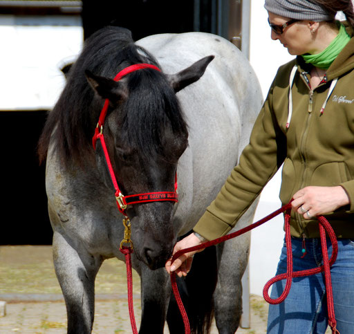 Ezra with his new Big D halter at the training camp, May 2014