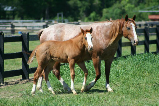 Frosty with her colt by Snips Olympic Gold. Picture by Ashlyn Williams