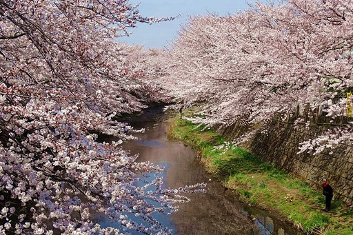 町田 恩田川の桜