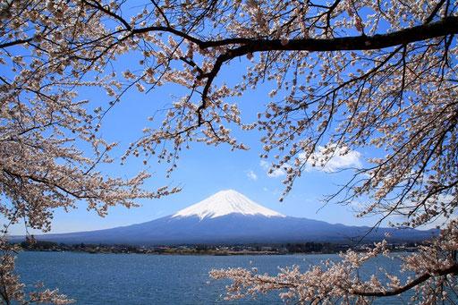河口湖から富士山と桜