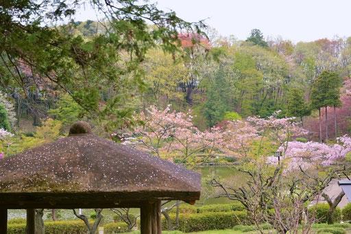 町田 野津田薬師堂と桜