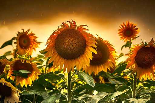 39. Sonnenblume