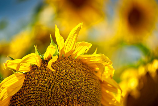38. Sonnenblume