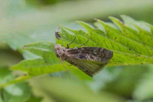 Eikenlichtmot   Phycita roborella