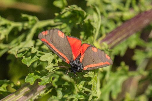 Sint-jacobsvlinder  Tyria jacobaeae