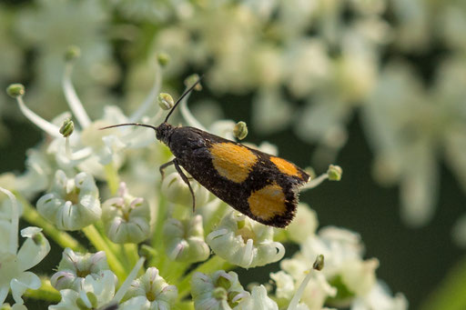 Oranje dwergbladroller  Pammene aurana