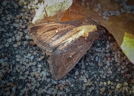 witstipgrasuil   Mythimna albipuncta