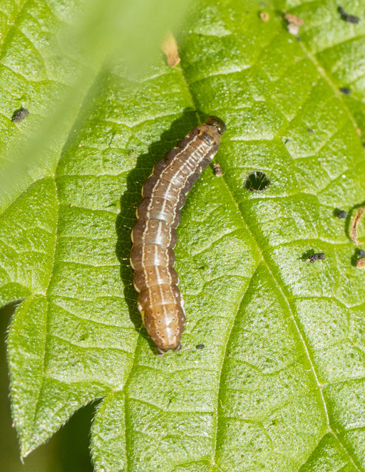 Wachtervlinder   Eupsilia transversa