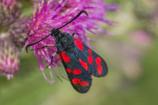 Sint-jansvlinder  Zygaena filipendulae