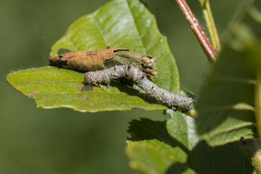 Perentak   Phigalia pilosaria