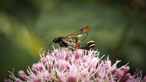 wilgenwespvlinder   Synanthedon formicaeformis
