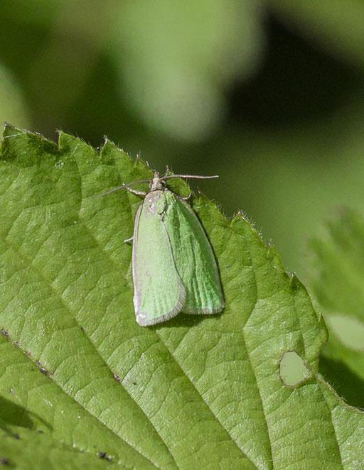 groene eikenbladroller   Tortrix viridana