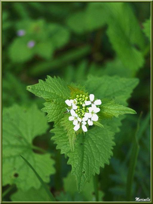 Alliaire ou Herbe à l'ail ou Pied d'âne ou Herbe sans pareille, flore sur le Bassin d'Arcachon (33)