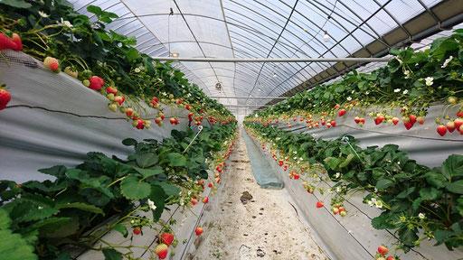イチゴ狩り なかはた農園