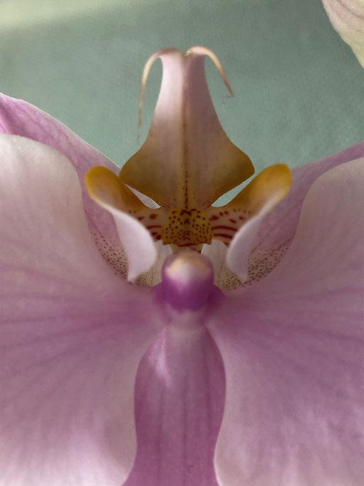 Orchideengeist IV