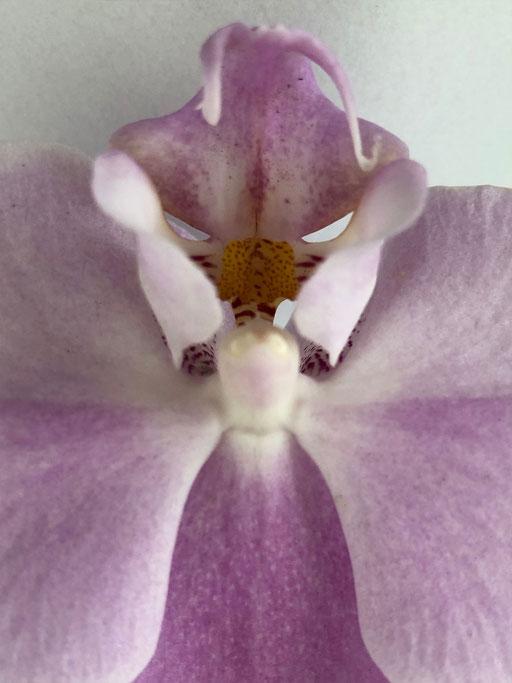 Orchideengeist II