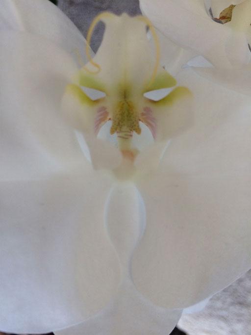 Orchideengeist I